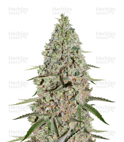 Buy Super Critical feminized seeds