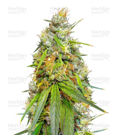 Buy Durban Regular seeds