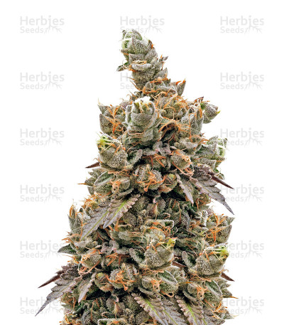 Buy Crystal Gelato feminized seeds