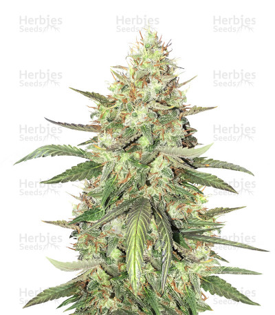 Buy Strawberry Fields feminized seeds