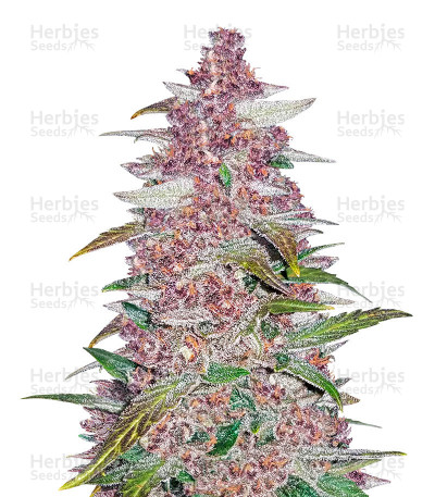Buy Blackberry Auto feminized seeds