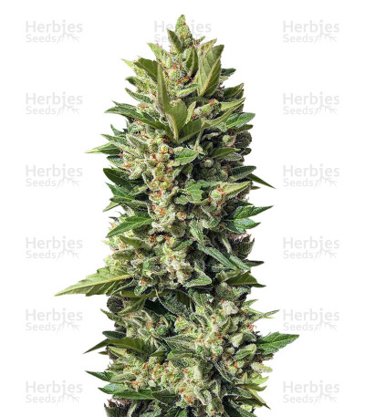 Golden Tiger feminized seeds
