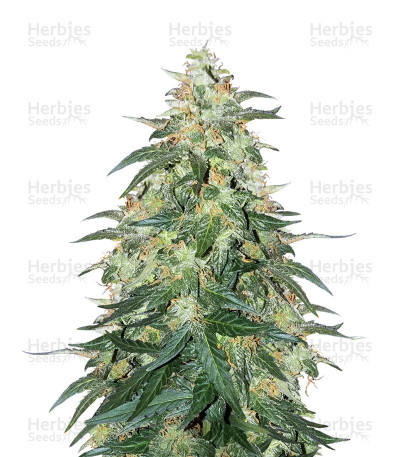 Buy Sweet CBD Auto cannabis seeds