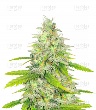Unknown Kush Early Version feminized seeds