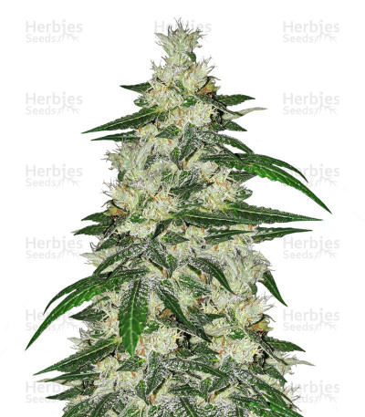 Buy Bangi Congo x Panama feminized seeds