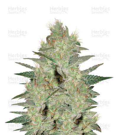 Northern Light x Big Bud Early Harvest (World of Seeds)