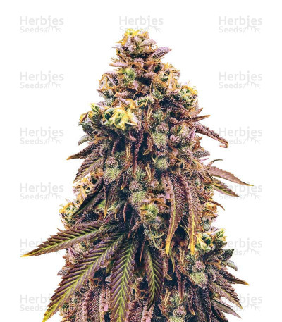 grand daddy purp weed reg seeds