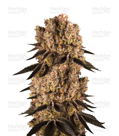 Buy Purple Punch feminized seeds