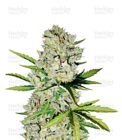 Buy Super Skunk Automatic feminized seeds