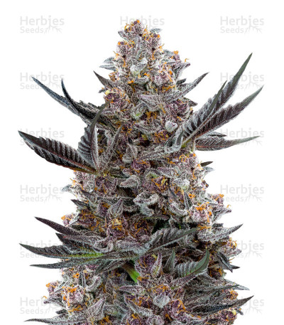 Buy Forbidden Dream by Humboldt Seeds