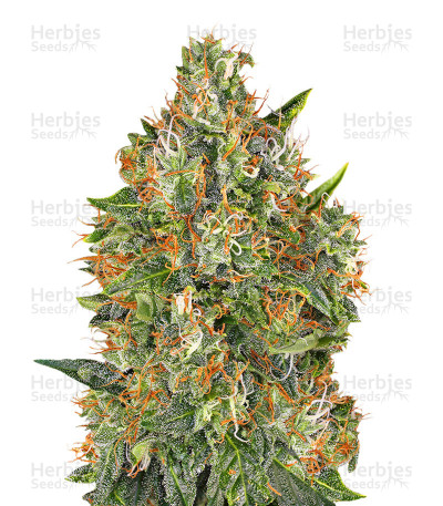 Buy G13 Widow Regular seeds