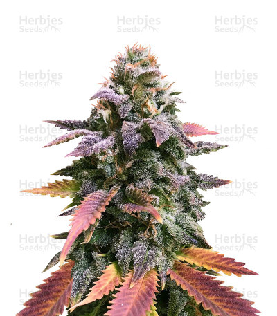Buy Laughing Buddha feminized seeds