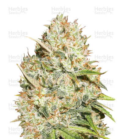 Buy Shark Widow feminized seeds