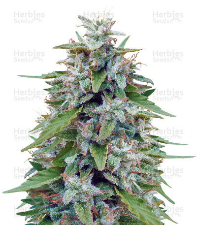 Buy Bangi Haze feminized seeds