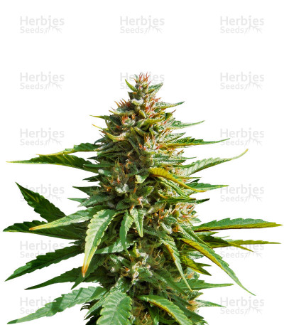 Buy feminized seeds PCK x ErdPurt