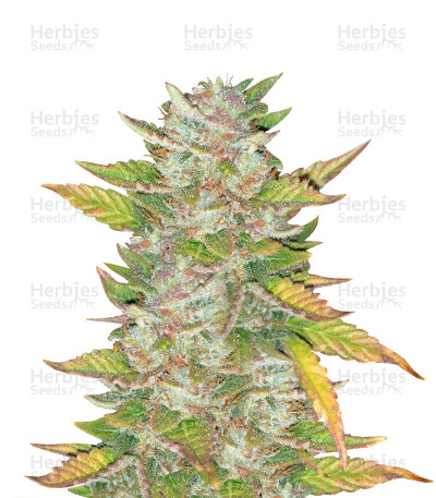 Purple Skunk Mass feminized seeds
