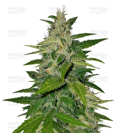 Buy BCN Critical XXL Autoflower feminized seeds