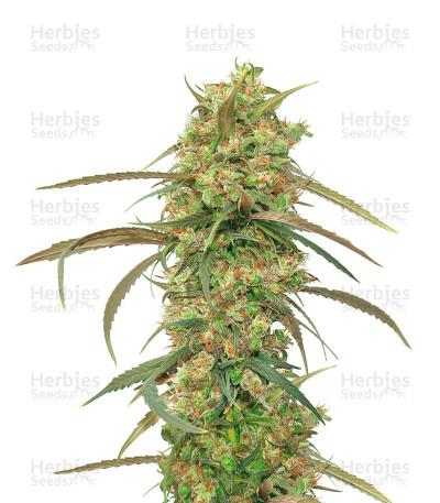 Buy Haze x Kali China feminized seeds