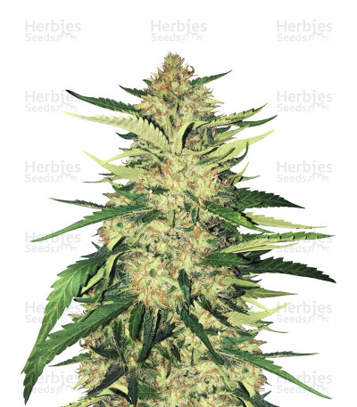 Buy Critical Orange Punch feminized seeds