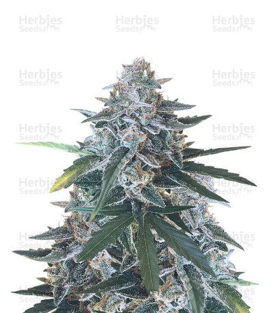 King's Kush Auto CBD by Green House Seeds