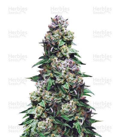 Purple Urkle (Pyramid Seeds)