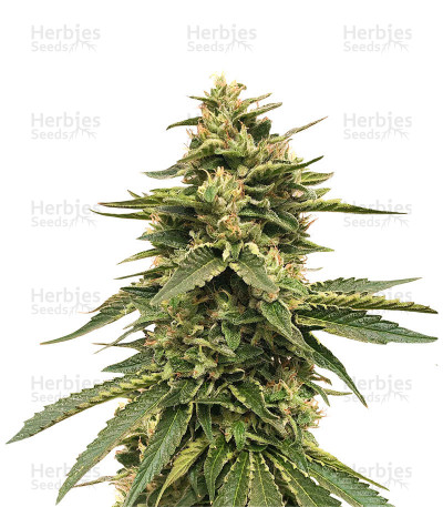 Buy Amnesia OG feminized seeds