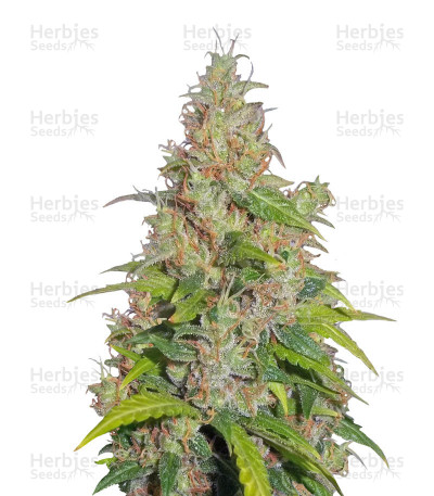 Buy Caramel Ice feminized seeds