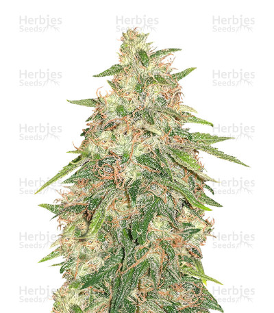 Buy G Force feminized seeds