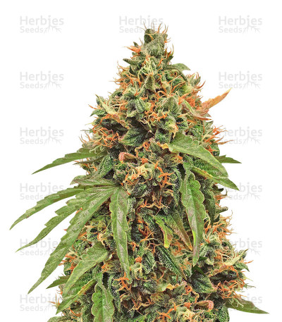 Buy Purple Haze Auto feminized seeds