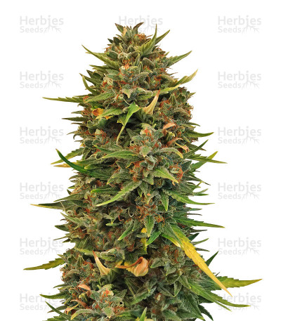 Buy Northern Cheese Haze Auto strain