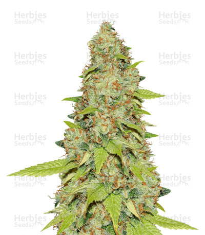 Buy Auto Skunk feminized seeds