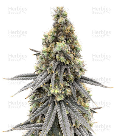 Buy Blueberry Bud feminized seeds