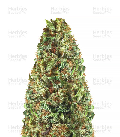 Buy Passion Fruit Punch by Humboldt Seeds