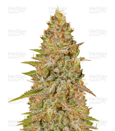 Buy Critical Super Silver Haze feminized seeds