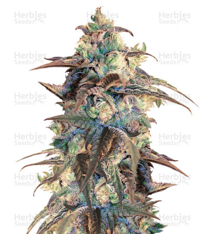 Buy Panama D.C. Regular seeds