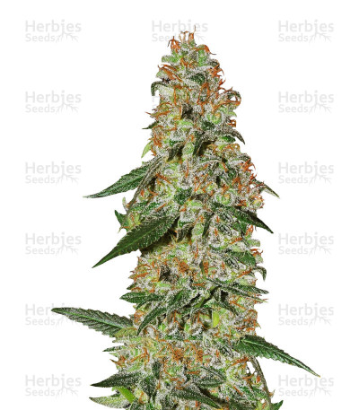 Buy Blue Rhino feminized seeds
