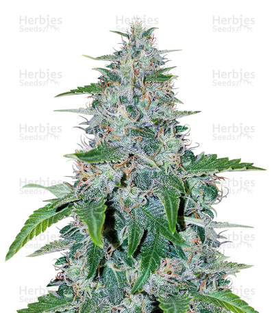 Critical Mass Automatic feminized seeds