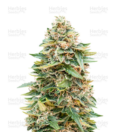 Buy Auto Skunk 47 feminized seeds