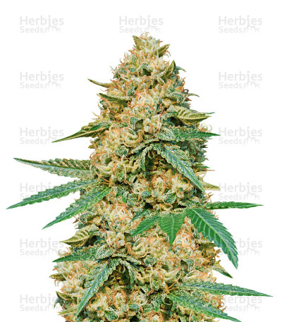 Buy Silver LA feminized seeds