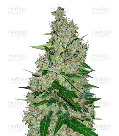 Buy White Lavender feminized seeds