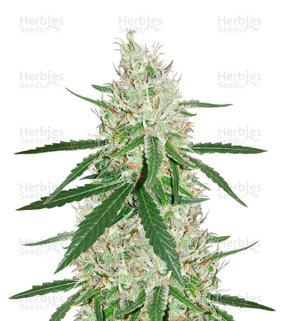 Buy Exodus Cheese x Durban Panama feminized seeds
