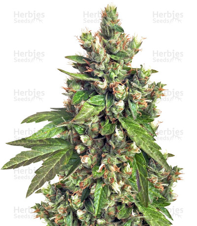 Buy Buddha Medikit CBD feminized seeds