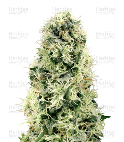 Buy Pure Power Plant feminized seeds