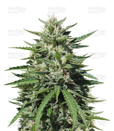 Buy Royal Cookies Automatic feminized seeds