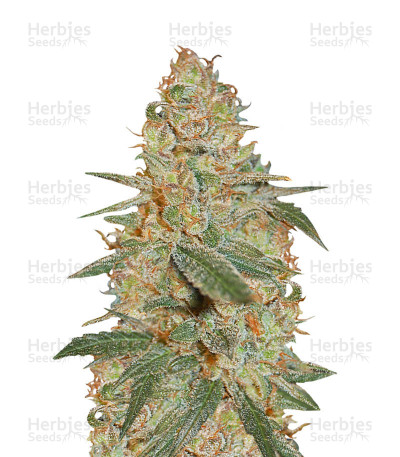 Buy Black Diesel feminized seeds