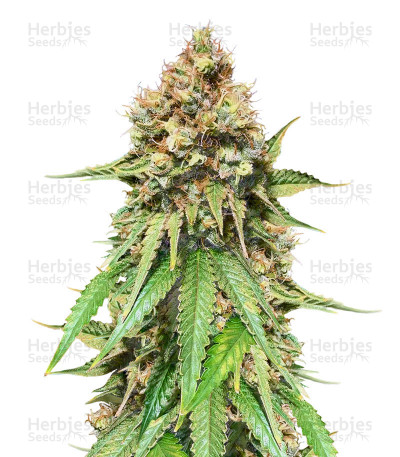 Buy Northern Lights regular seeds (Sensi Seeds)