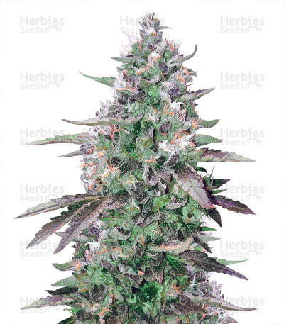 Buy Kritikal Bilbo Auto feminized seeds