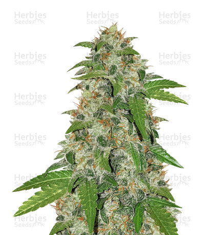 Buy Road Dawg Regular seeds