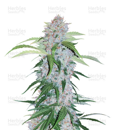 Buy Six Shooter Auto feminized seeds