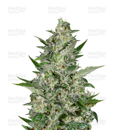 Buy Super Critical Auto feminized seeds